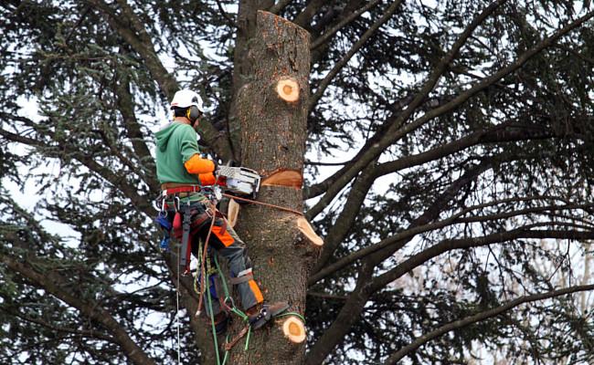 Abattage arbre elagueur
